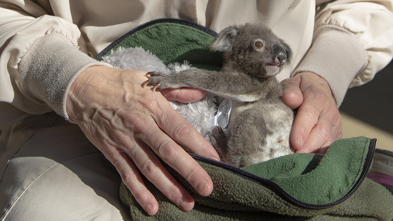 Koala Joey Receives Round-the-Clock Care 