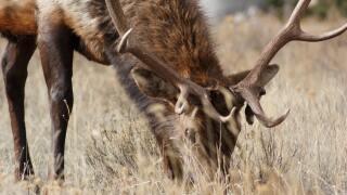 animal-elk-grass-90584.jpg