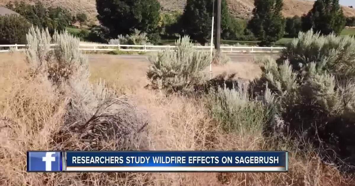 BSU researchers study importance of sagebrush in Idaho