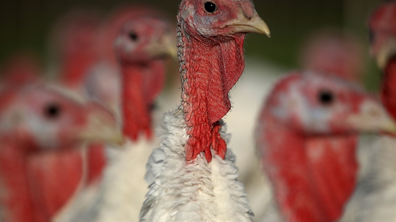 91,000 pounds of raw turkey products recalled due to possible salmonella contamination