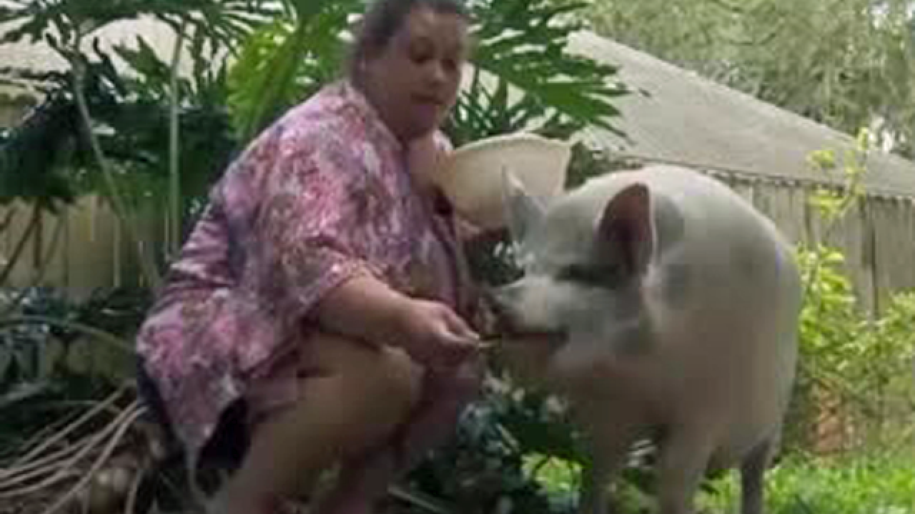 Fight over emotional support pig in Florida