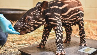 "Virginia Zoo announces their new baby Tapir ""Luther"""