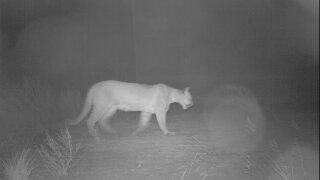 Mountain Lion spotted in Oro Valley crossing Oracle Road.