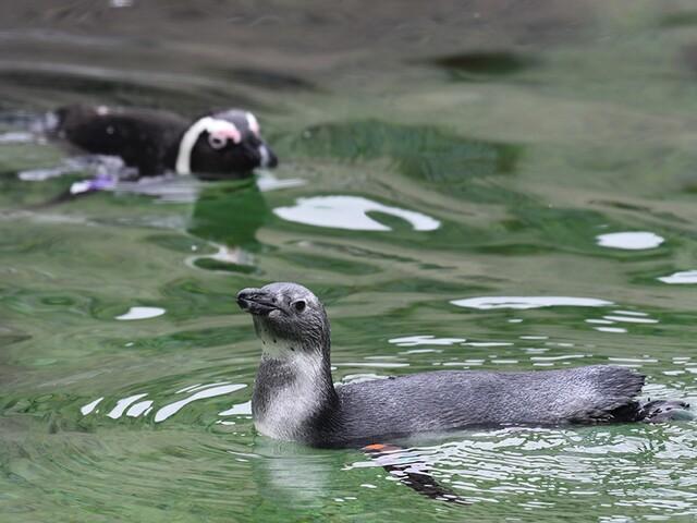 "Penguin ""Millie"" makes Zoo debut"
