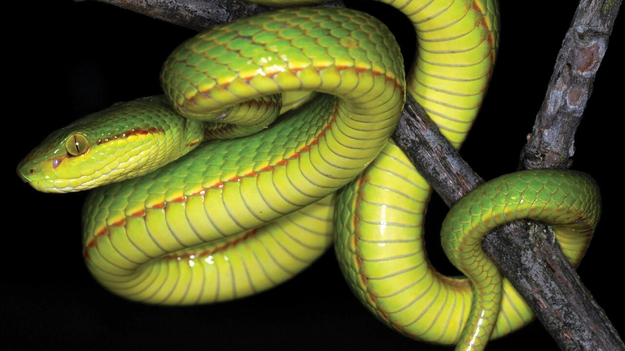 Scientists name newly discovered snake after Harry Potter's Salazar Slytherin
