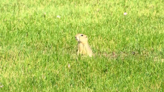 Great Falls officials taking steps to control gopher population