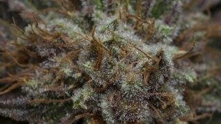 Closeup view of marijuana bud.
