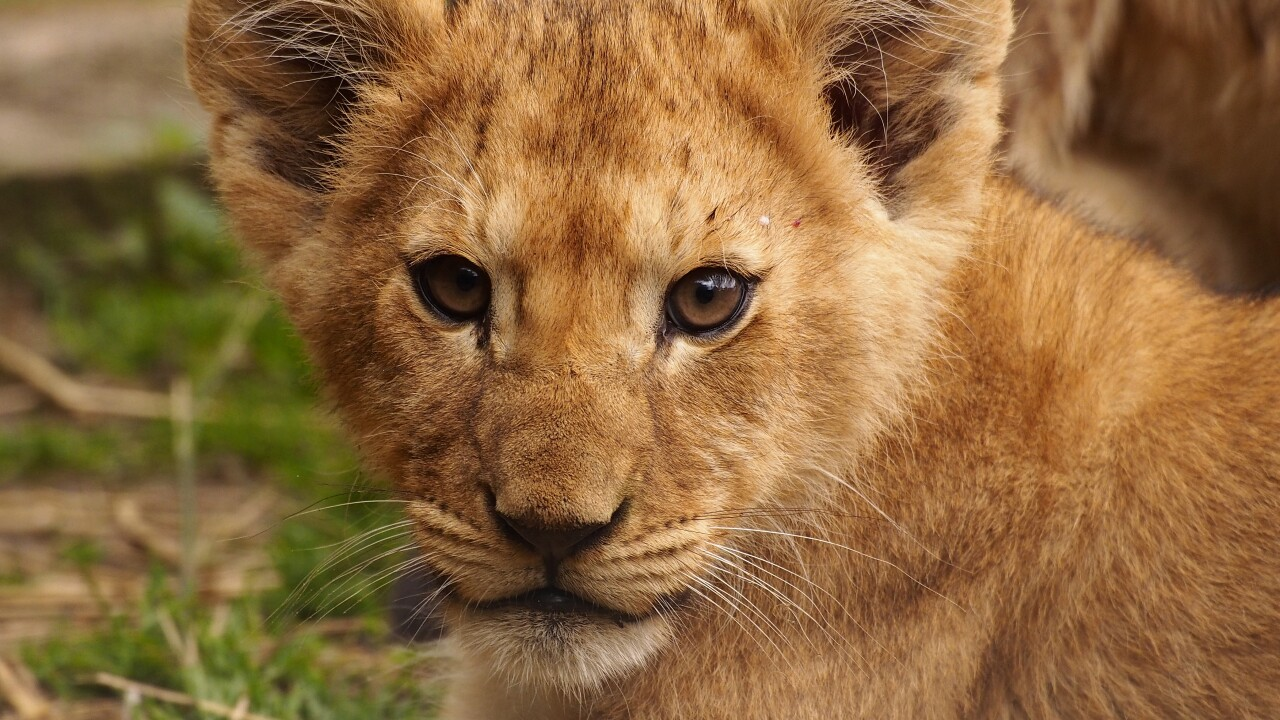 Virginia Zoo's 'Zoovies' honors lion cub's first birthday
