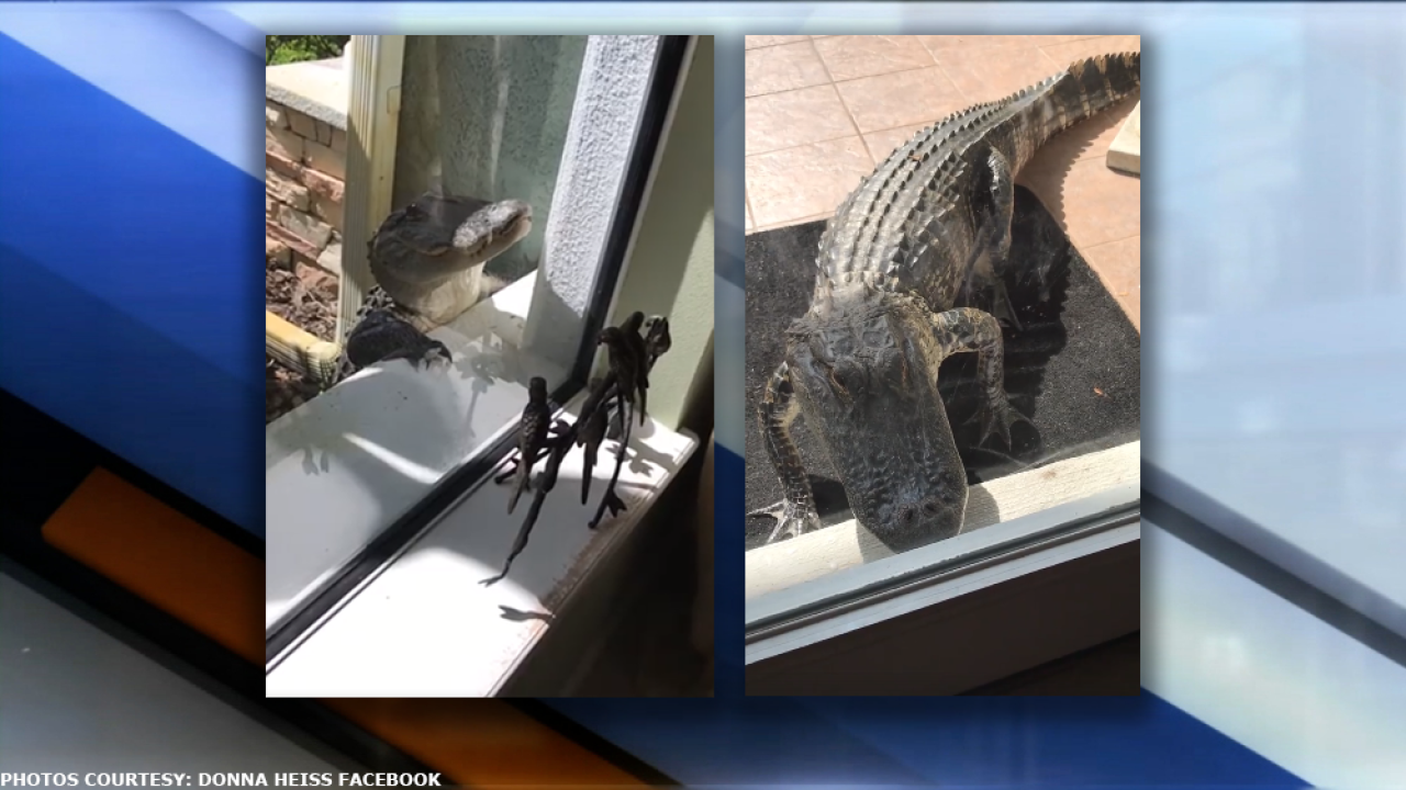 Woman captures video of alligator peeking into door and windows of Florida home