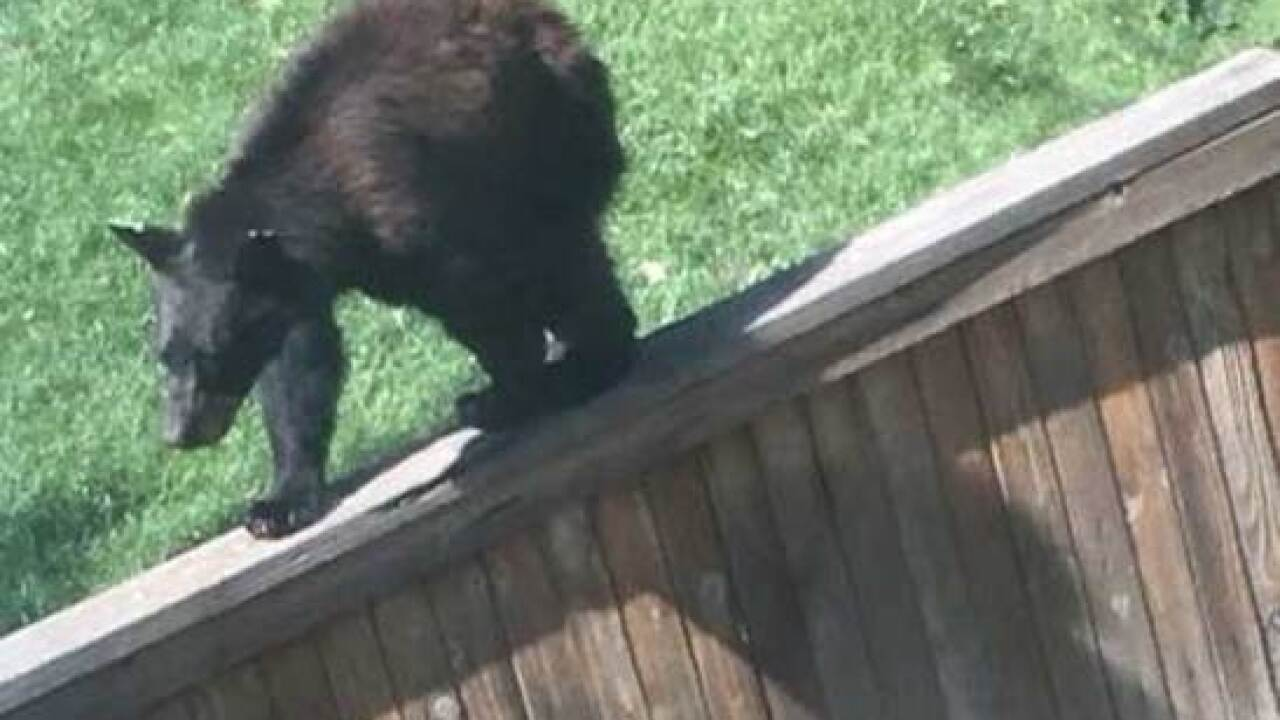 Bear spotted climbing fences in Highlands Ranch
