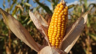 Mexico ready to retaliate by hurting American corn farmers