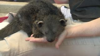 WCPO_zoo_baby_bearcat.png