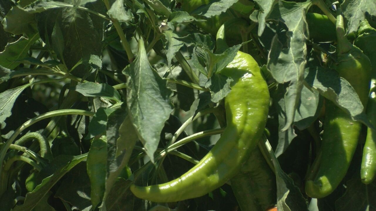 Green Chile debate continues