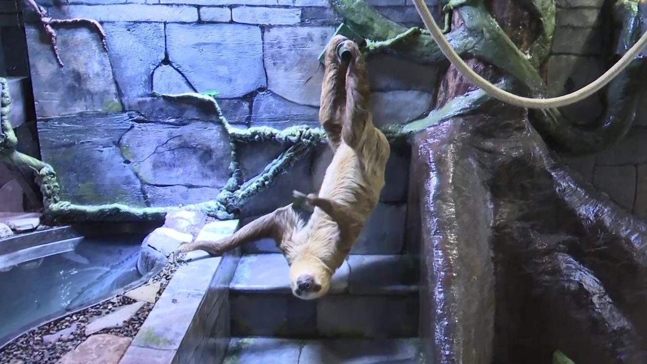 Winston the sloth at ZooMontana