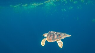 Photos: N.C. Aquarium sea turtles tagged and released as part of study to better understandthem