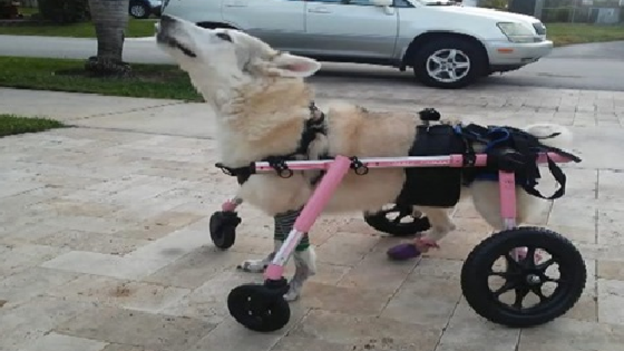 Missing with stolen car, Florida disabled dog is found dead.png