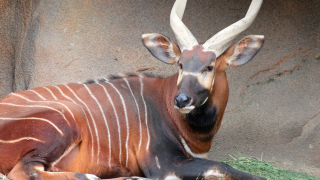 WCPO stevie the beautiful bongo.png