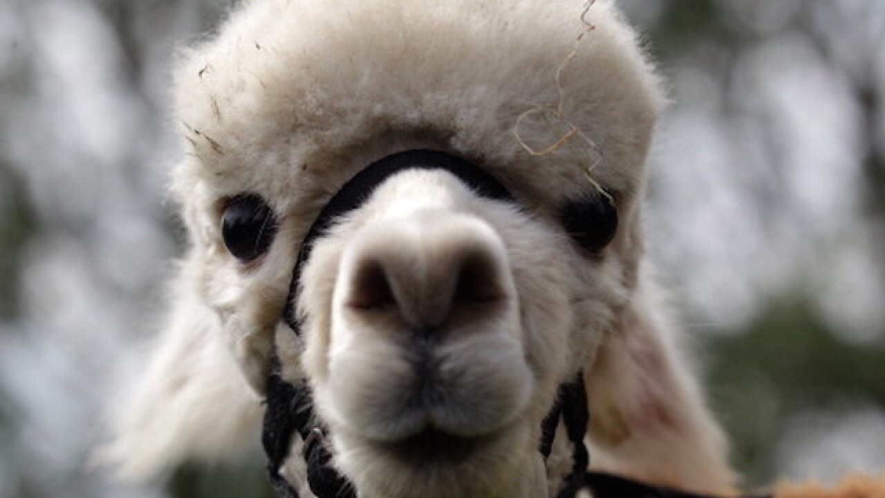 Llama makes daring escape in Colorado