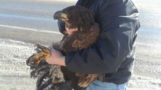 Eagle is on the mend after rescue