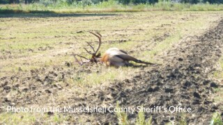 Elk poached in Musselshell County