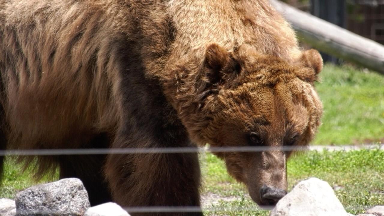 Nakina the Grizzly Bear