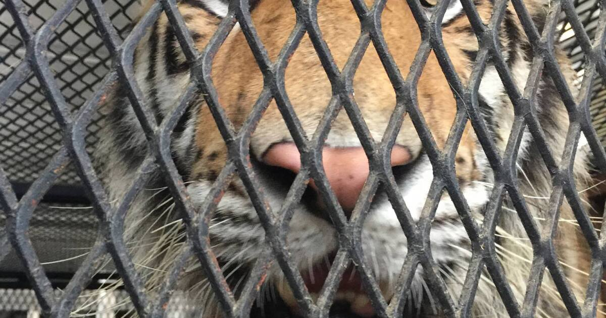 Tiger found in vacant home moved to Texas animal sanctuary