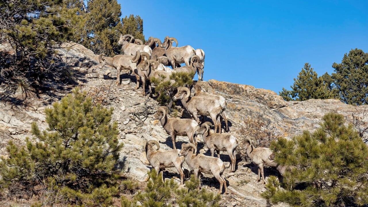 Larry Marr Garden of the Gods bighorn sheep