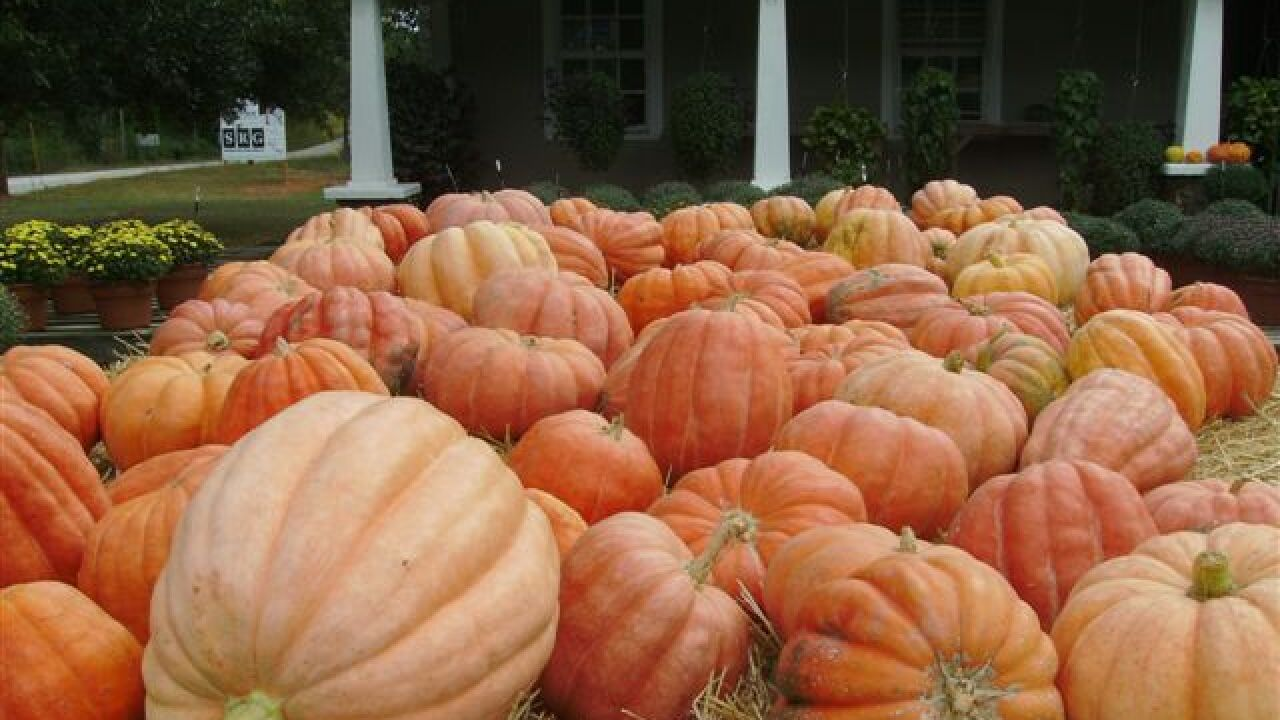 New Style of Pumpkin Grown in South Georgia