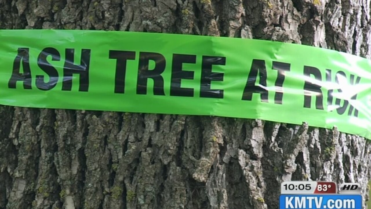Emerald ash borer confirmed in Cass County