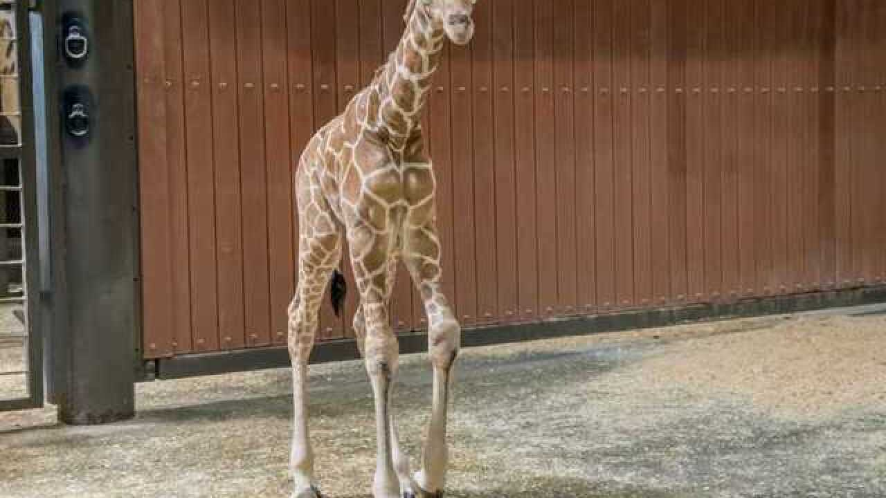 Milwaukee County Zoo welcomes new baby giraffe