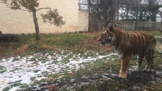 Tiger returns to Zoo Boise's exhibit following surgery