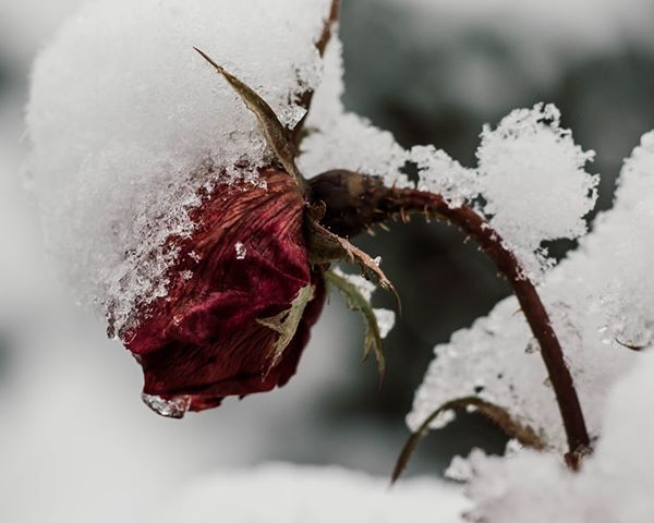 Rose in Wilmore