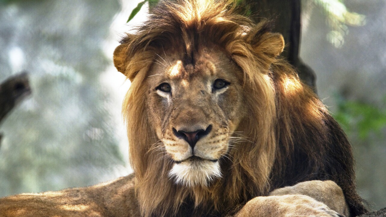 Lion dies at Indianapolis zoo after attack by another lion