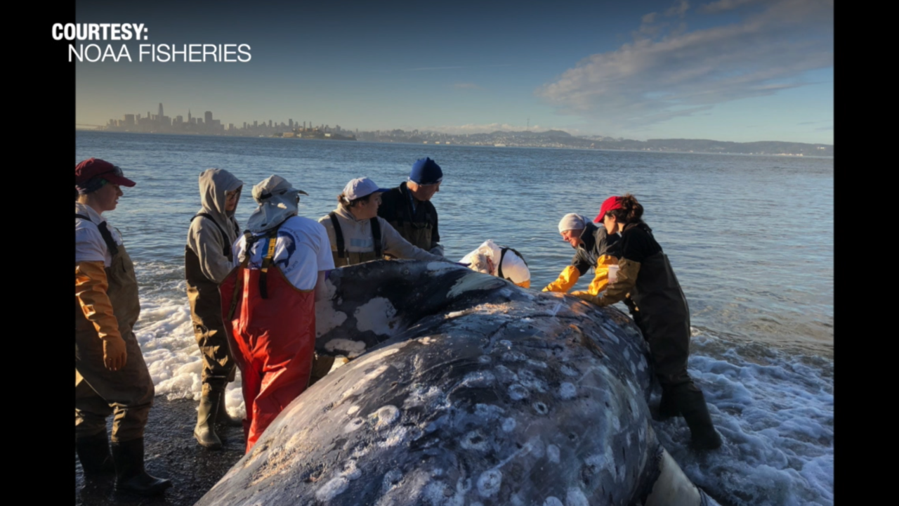 Massive whale die-off creates need for people to host rotting whales on their property