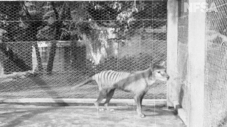 Watch the last known video of a Tasmanian tiger