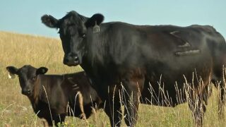 Montana Ag Network: Cattle ranchers feeling the pressure of higher feed prices