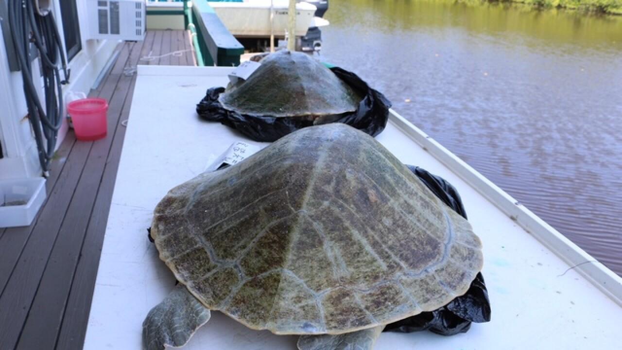 Sea Turtle mass mortalities reported