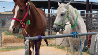 MCSO horses available for adoption