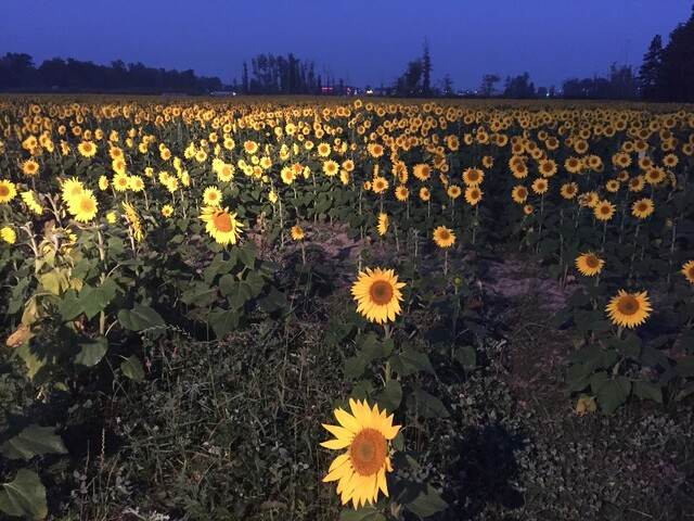 PHOTOS: Flowers bloom at Prayers from Maria sunflower field in Avon