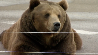 Tag the Kodiak bear