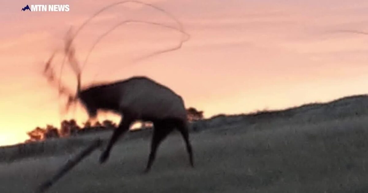 Video: Montana rancher frees elk snared in wire fence