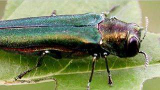emerald ash borer.png