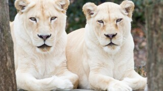 22-year-old white lion euthanized at Cincinnati Zoo