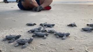 turtle hatchlings 1.png