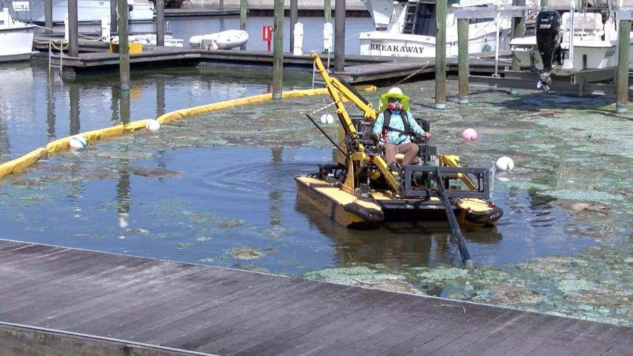 Algae cleanup at Pahokee Marina on May 3, 2021