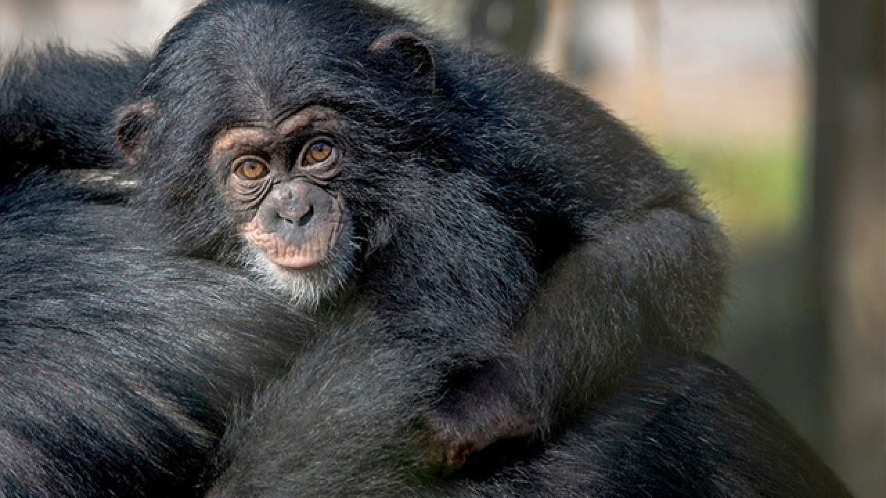 Chimpanzee killed by other chimps at Lowry Zoo