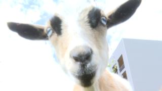 goat yoga 1.PNG