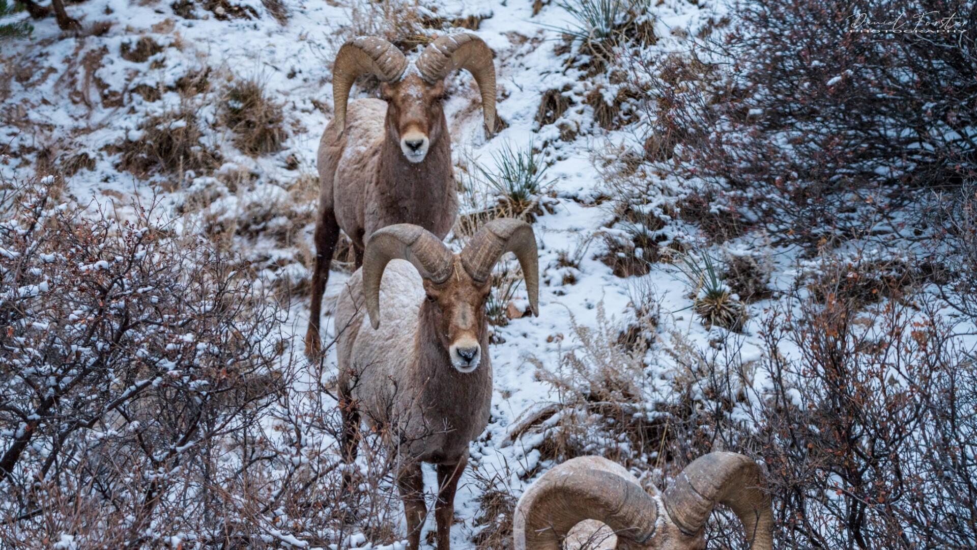 Rams Daniel Forster 2.jpg