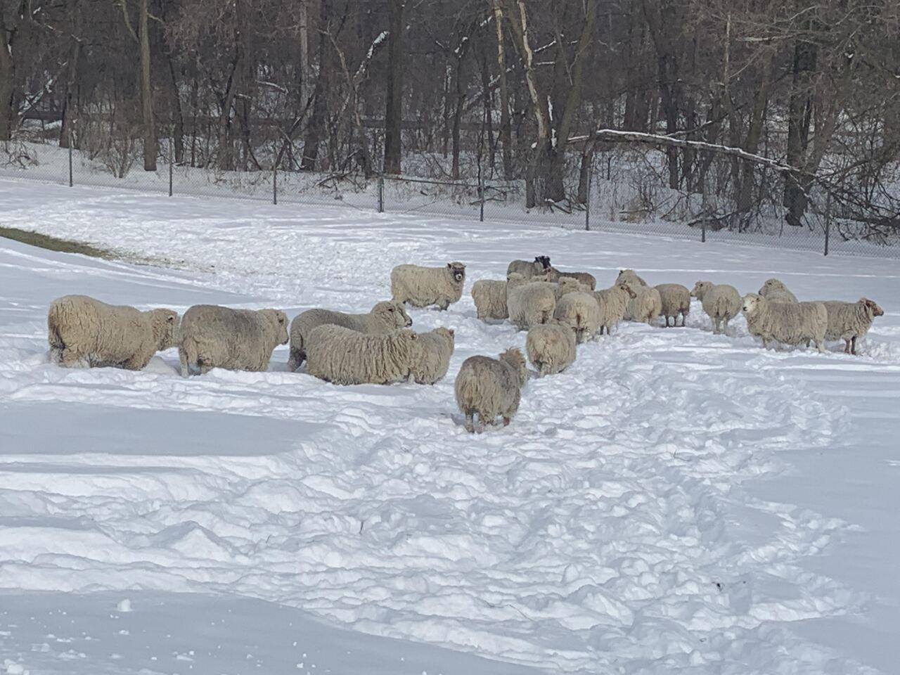 Delhi Township sheep .jpg