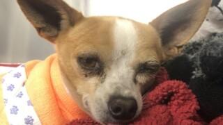 sd_humane_society_injured_chihuahua.jpg